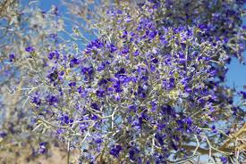tree with purple flowers desert garden smoke tree blossoms today s flowers 062710