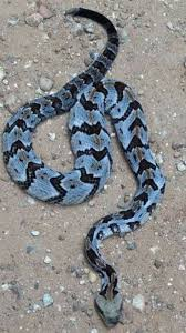 528 best snakes images on pinterest reptiles animals and amphibians
