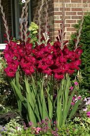 noweta u0027s purple blue lavender glad catalog online gladiolus