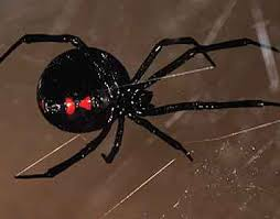 Black Widow Spiders Had A - black widow spider prevention in arizona bug guardian pest