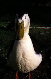 Ducks Unlimited Weathervane 11 Best Magpie Ducks Images On Pinterest Magpie Ducks And Chicken