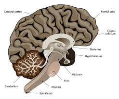 Part Of The Brain Stem That Is Involved In Arousal What Does The Thalamus Do