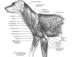 Dog Anatomy Poster Dog Anatomy Poster Animal Pinterest Dog Anatomy Posters And