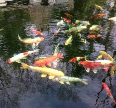 why add a koi pond to your landscape design plan