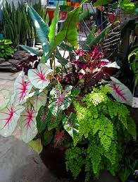 Tropical Potted Plants Outdoor - 229 best caladiums images on pinterest elephant ears foliage