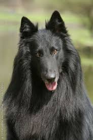 belgian sheepdog epilepsy belgian shepherd dog a k a belgian sheepdog or chien de berger