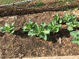 Mulching Vegetable Garden by Notes From The Organic Vegetable Garden Master Gardeners Of