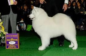yarrow affenpinscher dog show 2014 11 09