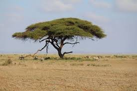 Cool Trees | cool trees picture of amboseli national park amboseli national