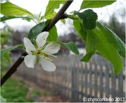 backyards wondrous plum 56 best backyard fruit trees for