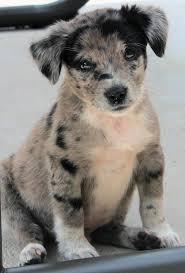australian shepherd 10 weeks new here vet told me my rescue pup is a blue merle australian