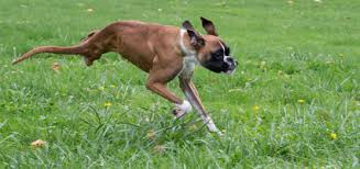 boxer dog 2015 diary duncan the two legged boxer dies comes back to continue living