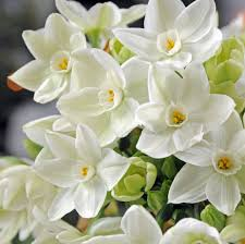 paperwhite flowers paperwhite ziva 50 smaller bulbs 14 15 cm easy to grow bulbs