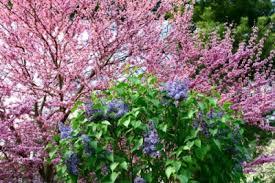 Shrub With Fragrant Purple Flowers - www thehoneytreenursery com