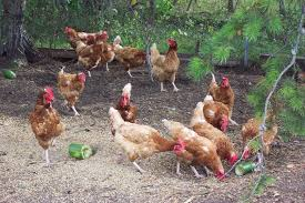Chicken In Backyard Raising Chickens In Your Backyard What You Need To Know Farming