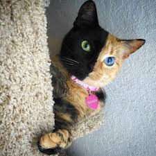 venus the two face cat home facebook