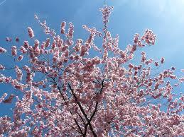 free photo japanese cherry trees ornamental cherry flowers pink