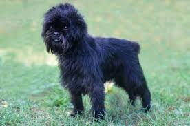 affenpinscher breeders canada affenpinscher un perro cariñoso y exclusivo para compañía