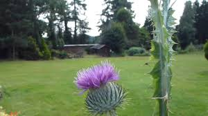 scotch thistle onopordum skoskur þistill skrautþistill youtube