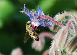 planting herbs that attract honey bees