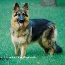 belgian shepherd for sale in india king shepherd puppies for sale