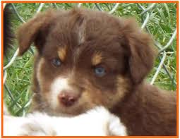 australian shepherd 7 weeks bandit u0027s spring litter 1 pup4 bet blue eyed red tri male