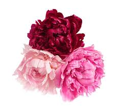Peonies Flower Peony Flower Pictures Images And Stock Photos Istock