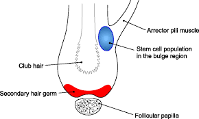 hair follicle predetermination journal of cell science