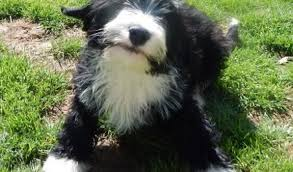bearded collie adoption ozzy u2013 15 week old male bearded collie cross terrier dog for adoption