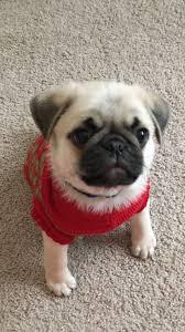 best 10 pug puppies ideas on pinterest pugs pug puppies for
