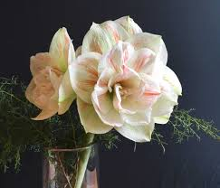 To Use Amaryllis As Cut Flowers Longfield Gardens