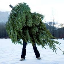 10 seacoast area cut your own christmas tree farms