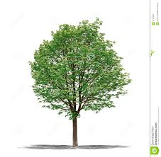 image gallery of green tree white background