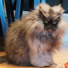 Colonel Meow Memes - 16 of the most famous cats on the internet