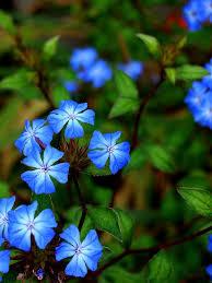 Blue Flower Vine - 74 best blue flowers images on pinterest blue flowers flower