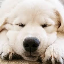 white golden retriever puppies breeders u2013 dog life photo
