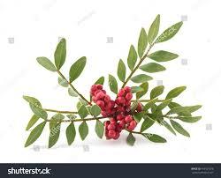 Mediterranean Kitchen Mastic Mastic Tree Red Berries Pistacia Lentiscus Stock Photo 493501978