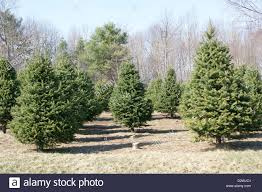 christmas tree farms stock photos u0026 christmas tree farms stock