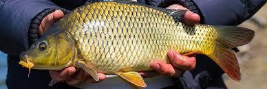 comment cuisiner une carpe des poissons peut on consommer la carpe
