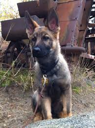 belgian shepherd for sale in malaysia pedigree database