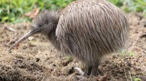 kiwi new zealand native land birds