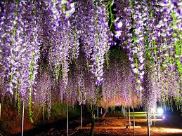 free wallpaper gallery wisteria tree is extreem beauty of nature