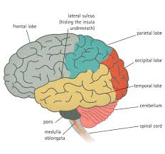 label the parts of the brain worksheet the best and most