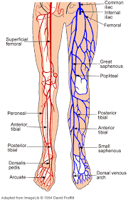 Anatomy Of A Foot Cardiovascular System Anatomy Of The Cardiovascular System