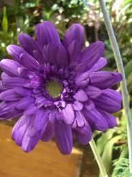 gerbera daisies purple silk gerbera flowers