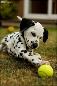dalmatian puppy dalmatian pup animal