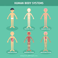 Picture Of Human Anatomy Body Human Body Systems Vector Free Download