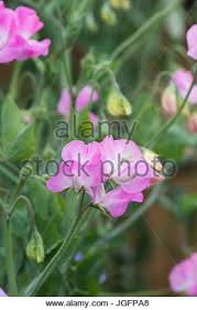 Sweet Pea Images Flower - lathyrus odoratus sweet pea u0027pinkie u0027 female gardener cutting
