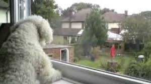 bichon frise whining my bichon frise barking at 2 big dogs youtube