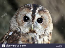head of a captive tawny owl strix aluco at u0027animal magic u0027 event